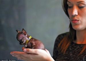 Milly Anjing Comel Paling Kecil Di Dunia
