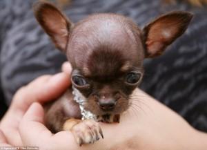 Milly Anjing Comel Terkecil Di Dunia